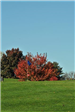 A Vibrant Red Tree at the Golf Course