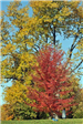 A Red Tree Juxtaposed by a Yellow Tree