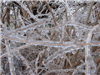 Freezing Rain Covered Branches 2