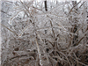 Freezing Rain Covered Branches 3