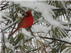 Red Cardinal in a Snow Covered Pine Tree